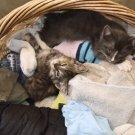 Laundry Kittens