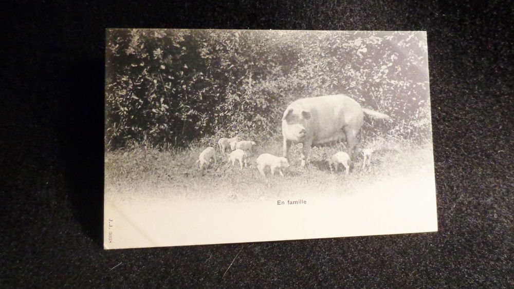 Vintage Real Photo Postcard Showing Hog w/ 7 Piglets Black/White Unused Undivide