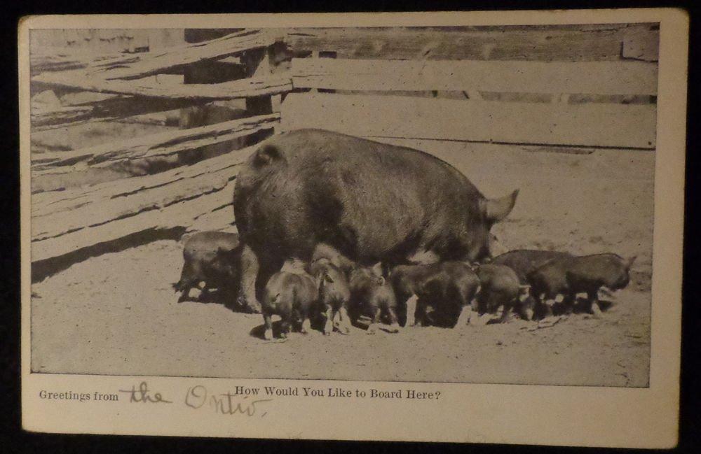 Vintage RPPC Picture of Hog & Piglets Black & White Photo Unused  Split Back