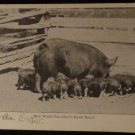 Vintage RPPC Picture of Hog & Piglets Black & White Photo Unused  Split Back