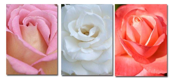 Trio of rose photographs