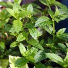 Peppermint Powder Extract--Powder Extracted from Peppermint