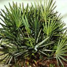 Saw Palmetto Extract Powder--Herbal Extract