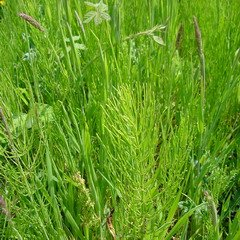 Horsetail Extract Powder