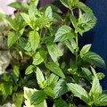 Peppermint Extract/Mentha haplocalyx Briq./Extract Ratio 5:1