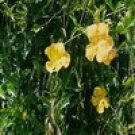 Cat's claw (Uncaria tomentosa) Extract
