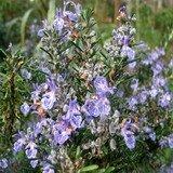 Rosemary Extract-Rosmarinus officinalis-Rosemarinic acid 1% HPLC