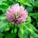 Trifolium pratense L. P.E.Isoflavone, Biochanin