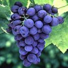 Grape seed P.E Vitis vinifera L. P.E.procyanidins 5%-98%