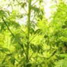 Artemisia annua Extract Artemisinin