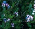 Bilberry Extract Powder Vaccinium myrtillus P.E.Anthocyanidins