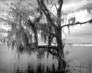 Black and White Photo 8X10 Tree Blakeley State Park