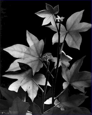 Black and White Photo 8X10 Leaves