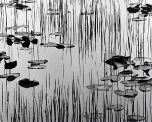 Black and White Photo 8X10 Reeds and Lily Pads