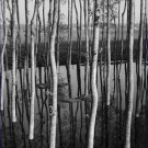 Black and White Photo 8X10 Trees in Shallow Water