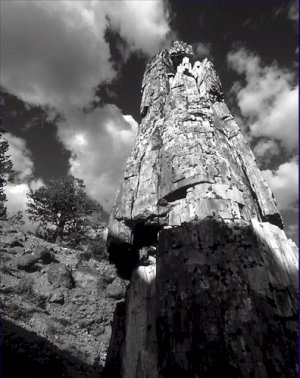 Black and White Photo 8X10 Yellowstone Petrified tree near Specimen Creek