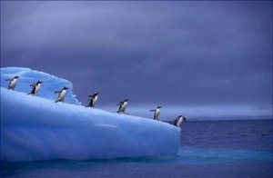 Gentoo Penguin on Iceberg 20X30 Poster Art Print