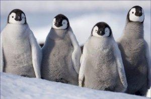 Emperor Penguins Teenagers in Antarctica 20X30 Poster Art Print