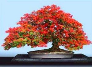 Bonsai or beautiful trees fresh seeds canadian maple - Arce rubrum bonsai ...