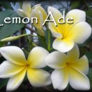 Rare & Exotic! Fragrant *Lemon Ade* Plumeria frangipani Cutting