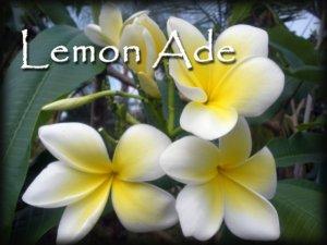 Rare & Exotic! Fragrant *Lemon Ade* Plumeria frangipani Cutting