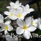 Rare & Exotic! Fragrant *Palm Beach White* Plumeria frangipani Cutting