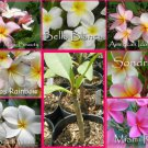 Rare & Exotic! Fragrant YOUR CHOICE of any 2 Plumeria Frangipani *Live Plant*
