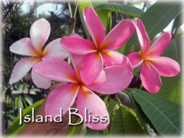"Rare Exotic Fragrant Colorful 14"" Seedling of *Island Bliss* Plumeria Live Plant"