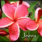 "Very Rare & Exotic Red ""Jeena"" Thai Plumeria frangipani cutting"