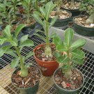 "Rare & Exotic White Adenium Obesum Desert Rose Live Plant 4"" pot Natural Bonsai"