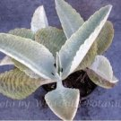 "Rare & Exotic Tropical Succulent Plant ""Donkey Ears"""