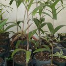 "Tropical Wodyetia bifurcata FOXTAIL PALM TREE indoor/outdoor LIVE plant 14""- 20"""