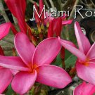 *MIAMI ROSE* PSA #187 Rare Exotic Plumeria Frangipani multi-tip cutting