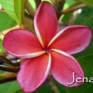 SALE Very Rare & Exotic ~JENA~ Red Thai Plumeria Frangipani cutting