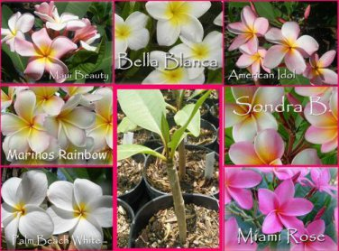 SALE Rare & Exotic! Fragrant YOUR CHOICE of any 2 Plumeria Frangipani Plants