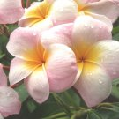 "ROOTED 7""+ *Lillianne* Plumeria Live Plant Rare Exotic Fragrant Colorful"