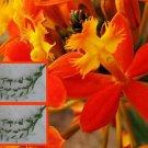 """6 Reed Stem """"Crucifix Orchid""""- *SUNBURST* Epidendrum Radicans 6""""-8"""" cuttings"""