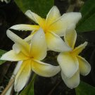 Cutting of *Heidi Gold* Rare Exotic Fragrant Yellow Plumeria Frangipani