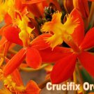 "Reed Stem ""Crucifix Orchid""- *SUNBURST* Epidendrum Radicans 6""-8"" fresh cutting"