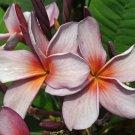 SALE  3 tip Siam Lavender Thai Plumeria frangipani cutting Rare Exotic fragrant