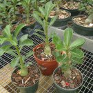 3 Adenium Obesum Desert Rose Live Plants RED, WHITE, PINK Exotic Natural Bonsai