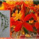 """3 Reed Stem """"Crucifix Orchid""""- *SUNBURST* Epidendrum Radicans 6""""-8"""" cuttings"""