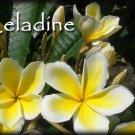 SALE (save $3) PSA#191 Celadine Hawaiian Plumeria Frangipani + bonus cuttings