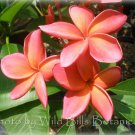 Unique~Leona Hoke~ Plumeria Frangipani cutting Fiery red/orange Rare Exotic