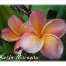 Strong Fragrance~Katie Moragne~ Plumeria Frangipani cutting Rare Exotic