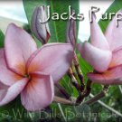 Rare~Jacks Purple~ 2 tip Thai Plumeria Frangipani cutting Exotic fragrant