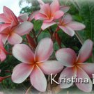 SALE Very Rare & Exotic ~ Kristina D~ Exclusive Plumeria Frangipani cutting