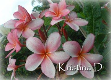SALE Very Rare & Exotic ~ Kristina D~ Exclusive Plumeria Frangipani cutting