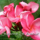 SALE (save $3) Very Rare & Exotic Suzanne St Amour Plumeria Frangipani cutting