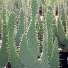 Cow's Tongue Prickly Pear Cactus